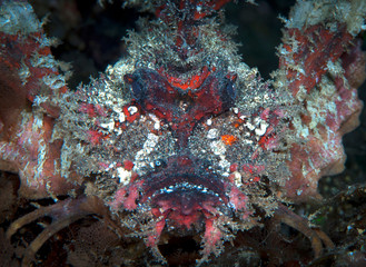 The monster in the ocean - scorpion fish.