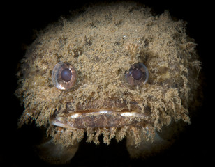 The monster in the ocean - Banded Toadfish (Banded Frogfish ) - Halophryne diemensis.