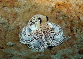 Amazing underwater world - Coconut octopus - Amphioctopus marginatus.
