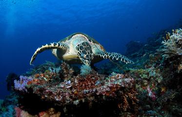 Amazing underwater world - Hawksbill turtle - Eretmochelys imbricata.