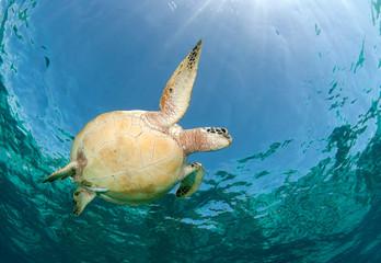 Amazing underwater world - Green turtle - Chelonia mydas. Apo Island, the Philippines.