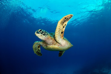 Amazing underwater world - Green turtle - Chelonia mydas. Apo Island, the Philippines.