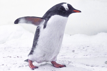 Cute gentoo penguim walking on the ice