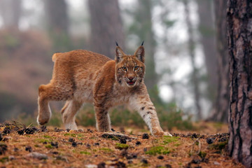In de dag Lynx The Eurasian lynx (Lynx lynx), also known as the European or Siberian lynx in autumn colors in the pine forest.