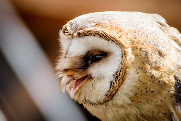 sowa ptak łowny myśliwy
