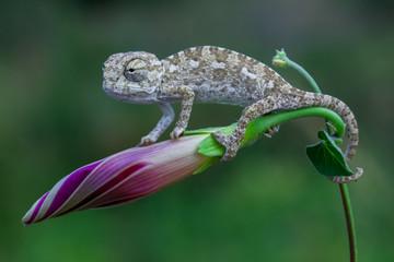 Photo sur Plexiglas Cameleon baby cute chameleon