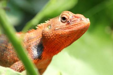 Foto op Aluminium Kameleon lizard