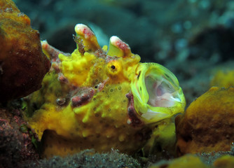 Amazing underwater world - Warty frogfish (Clown frogfish) - Antennarius maculatus. Tulamben, Bali, Indonesia.