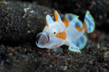 Amazing underwater world - Warty frogfish (Clown frogfish) - Antennarius maculatus. Tulamben, Bali, Indonesia.