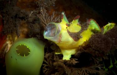 Amazing underwater world - Painted frogfish - Antennarius pictus. Tulamben, Bali, Indonesia.