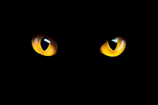 Orange cat eyes glow in the dark on a black background.