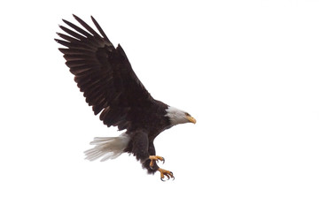 Eagle's Talons and Wings Wide Open