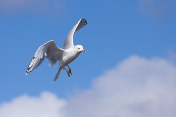 Ring-billed Gull Parachutes from Sky