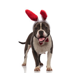 happy american bully wearing easter bunny ears and bowtie