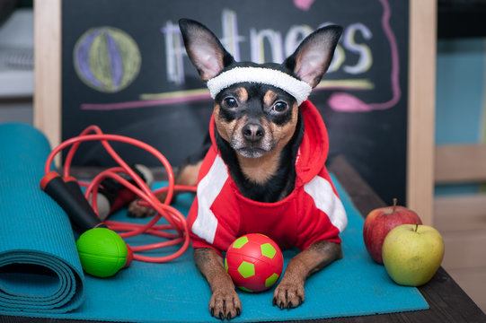 Dog personal trainer  concept . Fitness and healthy lifestyle for pet.   Dog in sportswear in training