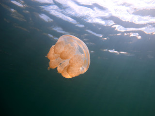 Amazing underwater world - Lake jellyfish. Palau.