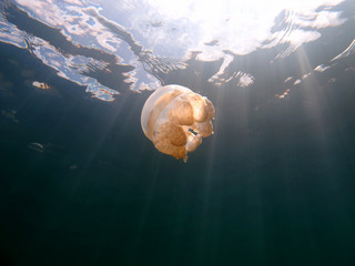 Amazing underwater world - Lake jellyfish. Palau.