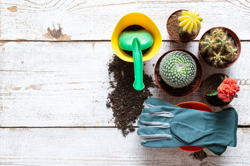 Collection of various flowering cactus plants, gardening gloves, potting soil  and trowel on white wooden background with copy space. Potting house plants background.
