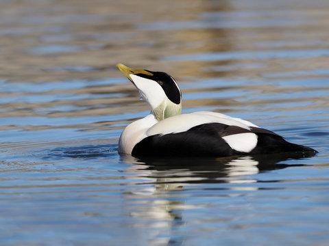 Common Eider duck, Somateria mollissima