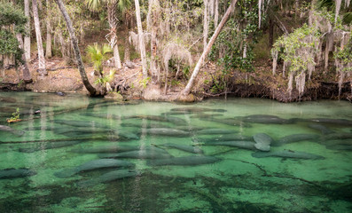 Manatee at Blue SPrings State Park