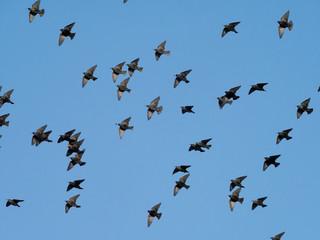 Fotoväggar - Starling, Sturnus vulgaris