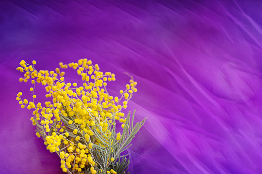 bouquet of yellow mimosa on a pink purple background