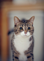Portrait of an ordinary striped cat.