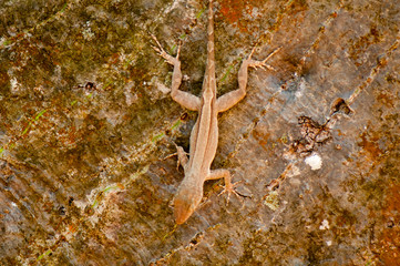 Female brown anole