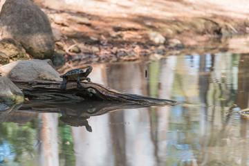 Wasserschildkröte trocknet sich auf einer Baumwurzel