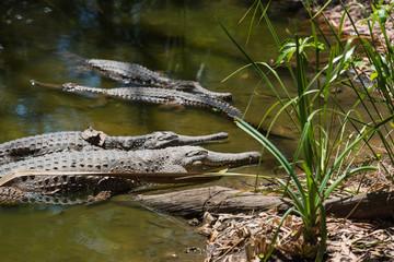 Krokodile liegen faul im Wasser und nehmen ein Sonnenbad