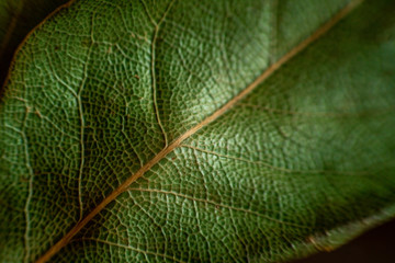 background of Laurel leaves close-up. dry green leaf texture