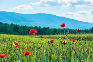 poppy flowers on a rural field in mountains. blurred background with forested hill in the distance. fleecy clouds on a bright blue sky. vivid agricultural scenery