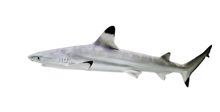 Blacktip reef shark isolate on white background