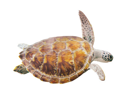 Hawksbill Sea Turtle  isolate on white background