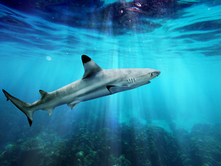 Blacktip reef shark swiming in blue sea with light rays underwater Wall mural