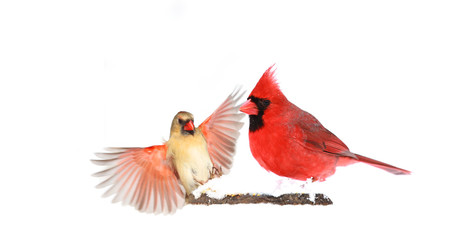 Male and Female Red Northern Cardinals