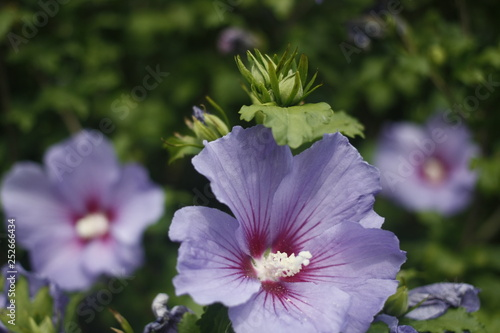 Purple Hibiscus Stock Photo And Royalty Free Images On Fotoliacom