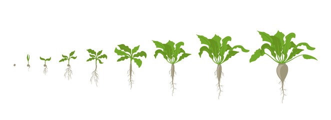 Sugar beet plant. Growth stages. Vector illustration. Beta vulgaris subsp. Ripening period. The life cycle. Root grown commercially for sugar production. Use fertilizers. On white background.