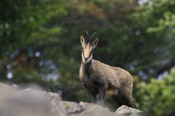 Chamois, , in the forest. Studenec hill, Czech Republic, Animal from Alp. Wildlife scene with animal, Chamois, stone animal.