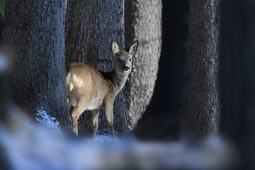 doe deer in the forest. Forest animals in winter. Wildlife scene from nature. wildlife scene in the Czech Republic. Capreolus capreolus.