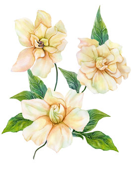 Beautiful yellow gardenia (cape jasmine) flower on a twig with green leaves. Tropical flower isolated on white background. Watercolor painting
