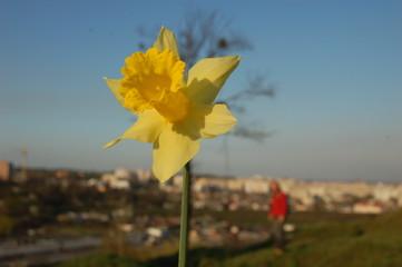 narcis spring
