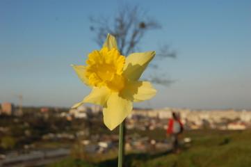 Printed kitchen splashbacks Narcissus narcis spring