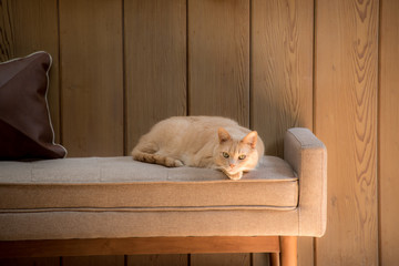 ginger cat on beige sofa