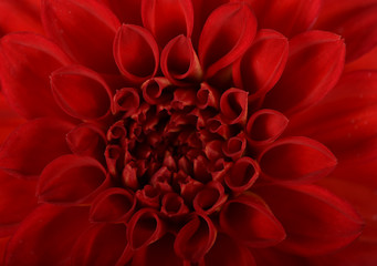 Poster de jardin Dahlia Spherical inflorescence of brightly red terry dahlia with scarlet petals close-up