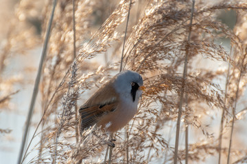 Rare Bearded Tit