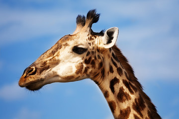 Large close photo of giraffe head in profile