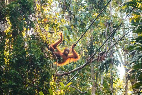 BORNEO / SARAWAK / MALAYSIA / JUNE 2014: Orangutans in the Semenggoh Nature Reserve