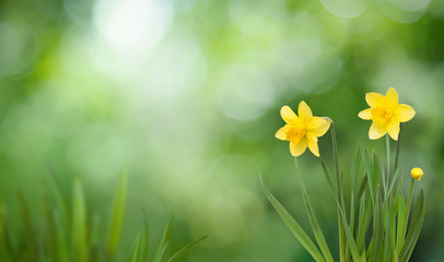 Nature Spring Background with blooming daffodil flowers