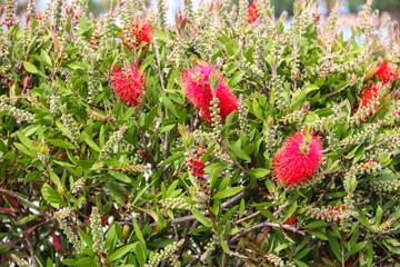 Red Bottlebrush flowers (Callistemon citrinus)